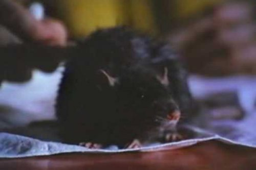 Ben – Top 10 Movie Rodents