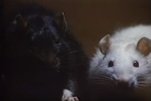 Socrates and Ben – Top 10 Movie Rodents